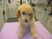 8 week old Standard Poodle Puppy CKC reg. with full