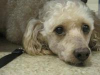 Poodle - Susie - Small - Adult - Female - Dog Meet