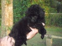 Poodle Toy AKC DOB:8/16/13 quality female black