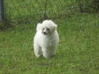 Poodle CKC Toy/Miniature DOB:06/02/15 quality tails
