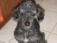 I have a rescue blue toy poodle available for adoption.