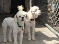 Poodle - Trooper - Small - Young - Male - Dog Trooper