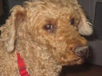 Poodle - Walter Brennan - Small - Adult - Male - Dog