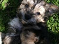 Poodle/ yorkie female puppy's 8 weeks old has her shots
