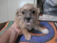 Poodle - 'cookie' - Small - Young - Female - Dog Meet