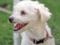 Poodle - 'henry' - Small - Young - Male - Dog Meet