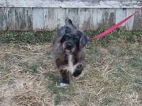 Poodle - Lucy Pending - Small - Young - Female - Dog