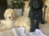 Gorgeous Standard Poodle Puppies!  4 lovely boys