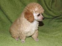 Poodles AKC Toy and Miniature 8 wks DOB: 8/16/2013