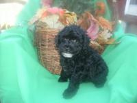 REGISTERED'' SMALL'' TOY POODLES- --BLACK -APRICOT-