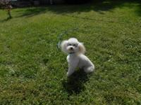 I have a cream toy AKC poodle for stud service.
