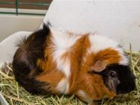 Pookie is a very handsome guinea pig looking for his