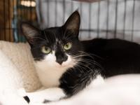 Pookie is a sweet, friendly black tuxedo kitty who