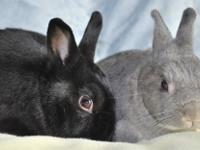 p>If you are looking for a smart bunny that is mellow,