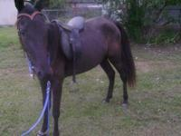 This is one nice mare ,she is broke to ride 100% sound