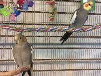 Poppy is a 5 year old, female cockatiel who is bonded