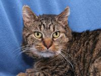 Porkchop is a sweet 2-year-old kitty who came to the
