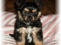 Porkie(Pomeranian/yorkie) Family raised in our house.