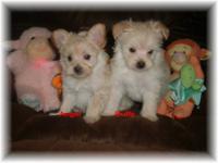 Porkie-poo (Pomeranian/yorkie/poodle). Family raised in