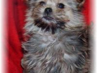 Porkie(Pomeranian/yorkie) Family members raised in our
