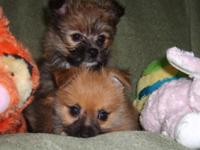 Porkie(Pomeranian/yorkie) Family elevated in our house.
