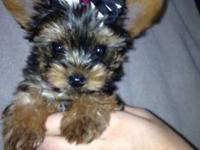Adorable 8-week old female Yorkie. AKC registered.