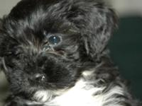 Portuguese Water Dogs available, whelping date