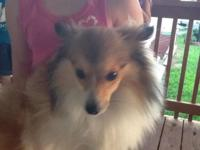Beautiful 10 mo. old Poshie. Mommy purebred Sheltie