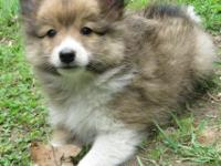 POSHIE PUPPIES! Purebred AKC Shetland Sheepdog and