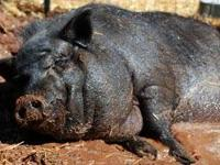 Pot Bellied - Arnold - Medium - Adult - Male - Pig