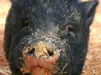 Pot Bellied - Cherry - Small - Senior - Female - Pig