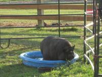Pot Bellied - Chops - Large - Adult - Female - Pig We