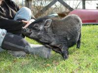Pot Bellied - Eldon - Medium - Young - Male - Pig