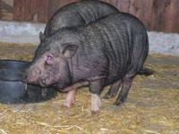 Pot Bellied - Kilo - Medium - Young - Female - Pig We