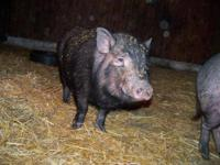 Pot Bellied - Kip - Medium - Young - Male - Pig We have
