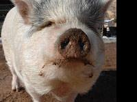 Pot Bellied - Lizzy - Medium - Adult - Female - Pig