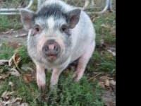 Pot Bellied - Lucy - Medium - Adult - Female - Pig Lucy