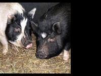 Pot Bellied - Maggie - Medium - Adult - Female - Pig