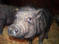 Pot Bellied - Miles - Medium - Young - Male - Pig We