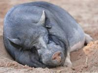 Pot Bellied - Nick - Medium - Adult - Male - Pig Nick