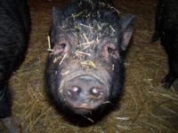 Pot Bellied - Penny - Medium - Young - Female - Pig We