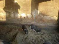 Pot bellied baby pigs.. $25.00 and $50.00  Location: