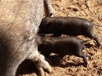 I have 2 pot bellied pigs for sale. They were born on