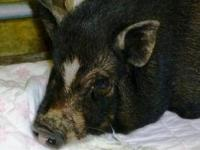 1 female pot-bellied pig, black. she maybe pregnant. 1