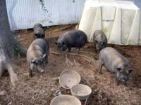 Pot Bellied - Pigs - Large - Senior - Male - Pig 5