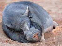 Pot Bellied - Scott - Medium - Adult - Male - Pig