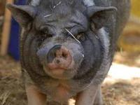 Pot Bellied - Teddy - Medium - Senior - Male - Pig
