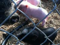Description Neutered Fancy Pinto Male pig for adoption