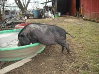 Zeke is a 1 y/o pot belly pig. He is very curious and