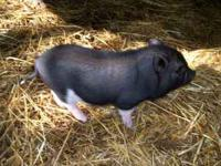 I have 1 piglet left. Male very cute with a load of